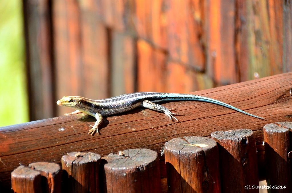 Blue Tailed Lizard Kruger National Park Geogypsy
