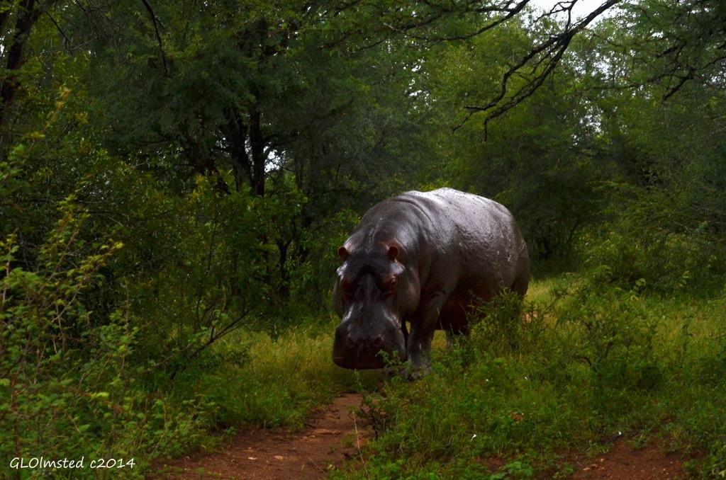 Close Up Hippo Kruger National Park South Africa